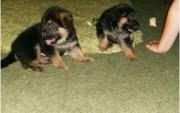 6Cute Male and Female German Shepherd Puppies