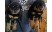 8Rottweiler Puppies Available