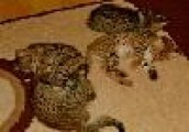 Cute Male and Female Savannah Kittens for Adoption
