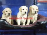 كلاب جولدن للبيع