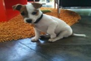 Wonderful Jack Russel Puppies 11 weeks old for Xmas   lovely tru