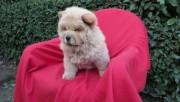 كلب تشاوتشاو