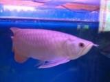 Arowana Fish for Sale