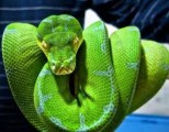 cutes and healthy albino and piedbald python for sale