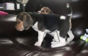 Beagle puppies for new home