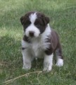 adoreble cute hightland puppies  for rehoming