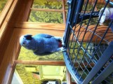blue macaw parrots for  re homing