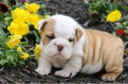 Male AKC Registered English Bulldog Puppy