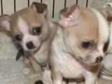 Gorgeous Male Chihuahua Puppies