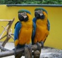 blue and gold macaw for free adoption