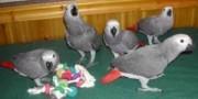Parrots Eggs Available