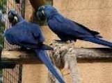Hyacinth Parrots