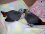 African Grey Parrots and Blue & Gold Macaw Babies.
