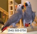 Young Talking African Grey Parrot