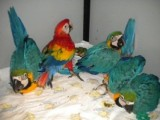 Macaw, Cockatoo and Other Parots