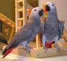 Lovely Pair of African Greys for Sale
