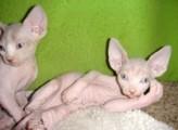 Blue Eyed Sphynx Kittens Ready Now