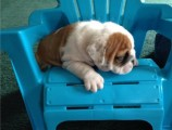 English Bulldogs puppies for adoption....//