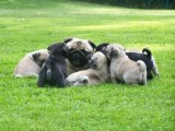 Out-standing Litter Of Pug Puppies.