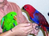 Hand reared Baby Eclectus Parrots for  adoption
