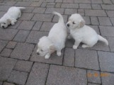 Golden Retriever puppies available and ready to go