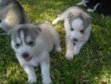 Blue Eyes Siberian Husky Puppies with Blue Eyes For Rehoming0