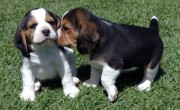 Beautiful Beagle Puppies for adoption,	00
