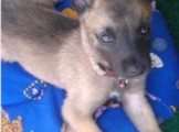 Pure Belgian Malinois puppies for sale