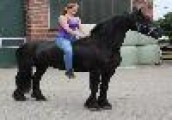 New Friesian Horse Available For sale