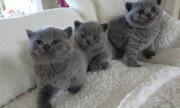 Pure Bred Full Pedigree british shorthair kittens For Sale