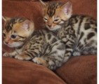 Bengal cute kittens looking best home for Sale