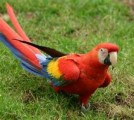Adorable male and female Scarlet Macaw Parrots for