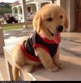 Beautiful Pedigree Golden Retriever puppies