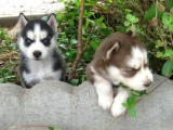 socialised home trained siberian husky puppies male and female