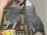 we have good looking beautifull and well trained parrots for sal
