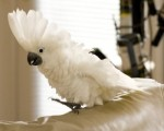 WHITE ANGEL COCKATOO PARROTS FOR GOOD HOME.