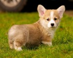 Home Raised pembroke welsh corgi Puppies For Sale