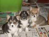 very loving pembroke welsh corgi puppies For sale