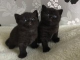 Beautiful pure bred Scottish fold Kittens ready For