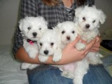 good looking plaful Maltese puppies for adoption