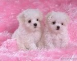 Magnificient T-cup Maltese Puppies