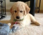AKC registered Golden Retriever puppies available