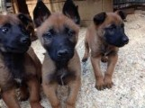 Belgian Miollitary malinois puppies SUPERB QUALITY