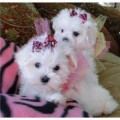 Maltese Puppies Available both male and females