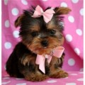 fluffy Male and Female yorkie pups