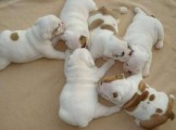 Super cute English bulldog puppies for adoption