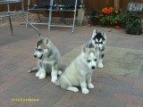 Beautiful Lovely Siberian husky puppies.