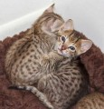 F1 Savannah male and female kittens for Rehoming