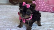 Cute and Adorable Yorkshire Puppies for Sale
