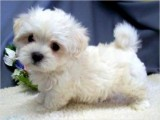Sweet Charming Maltese Puppies For Sale